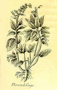 Sage depicted in the legendary Nicholas Culpeper's (1616-54) book, The English Physician