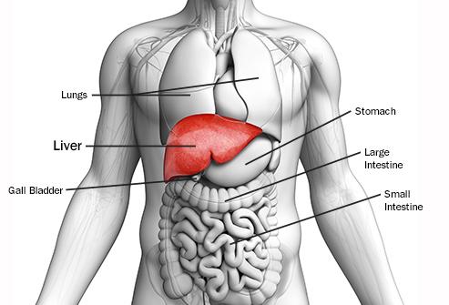 493ss_getty_rf_liver_anatomy_illustration